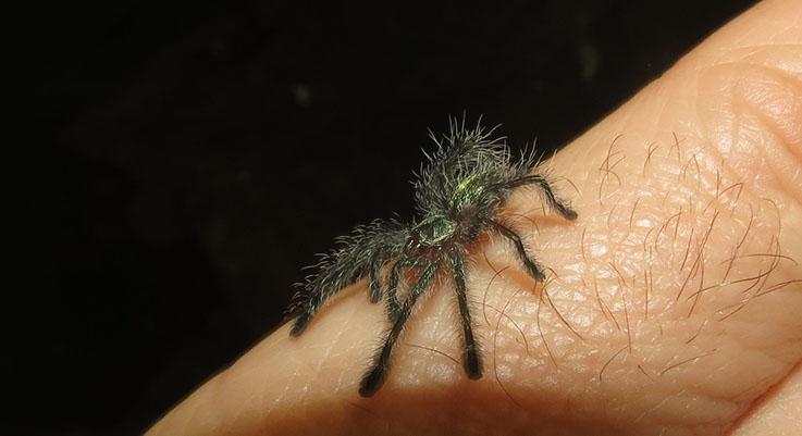 Amazon Sapphire Pink Toe Tarantula