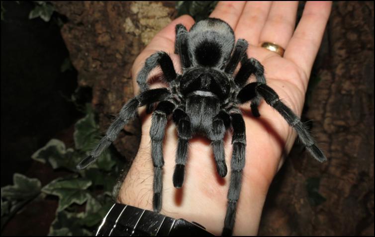Midnight the Brazilian Black Tarantula