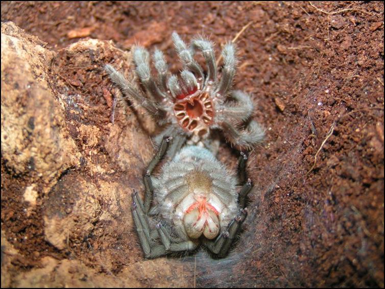 First moult of Midnight the Brazilian Black Tarantula