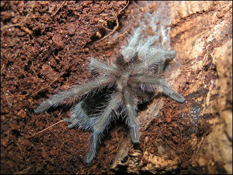Freshly moulted Brazilian Black Tarantula