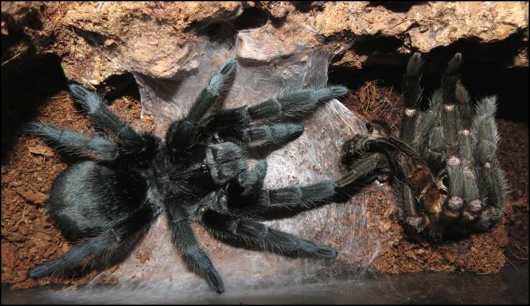 Older Brazilian Black Tarantula after moult