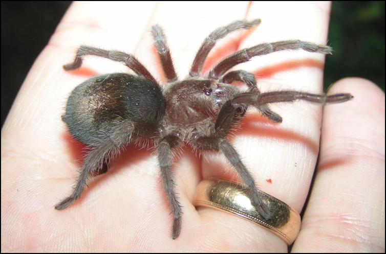 Small juvenile Brazilian Black Tarantula
