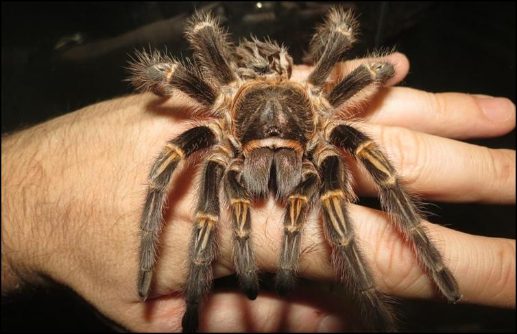 Exuviae of Golden Knee Tarantula