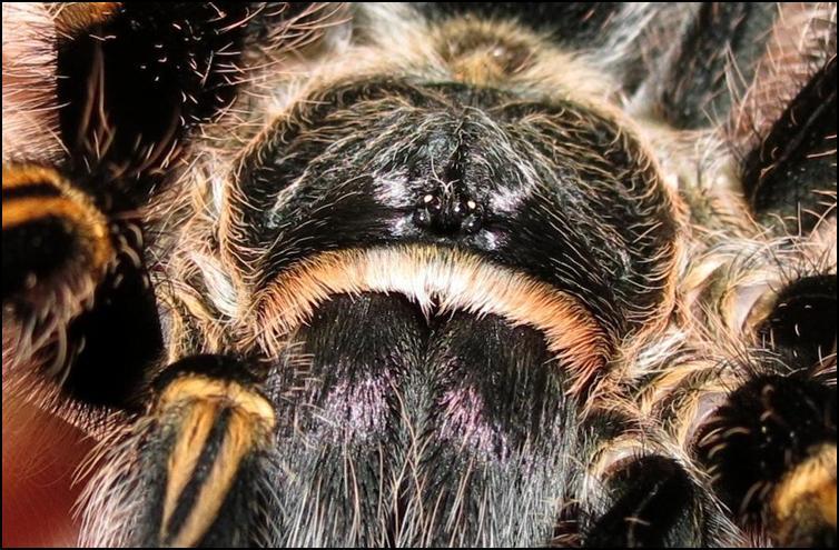 Close up on the eyes of Golden Knee Tarantula