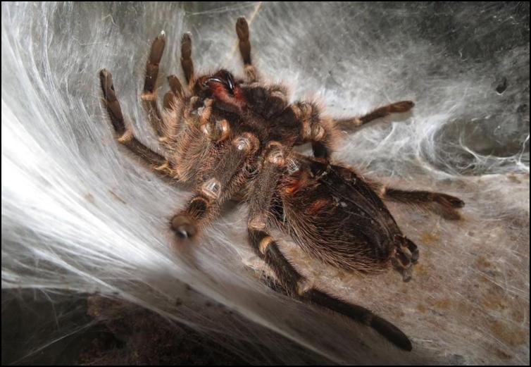 Golden Knee Tarantula going through moulting process