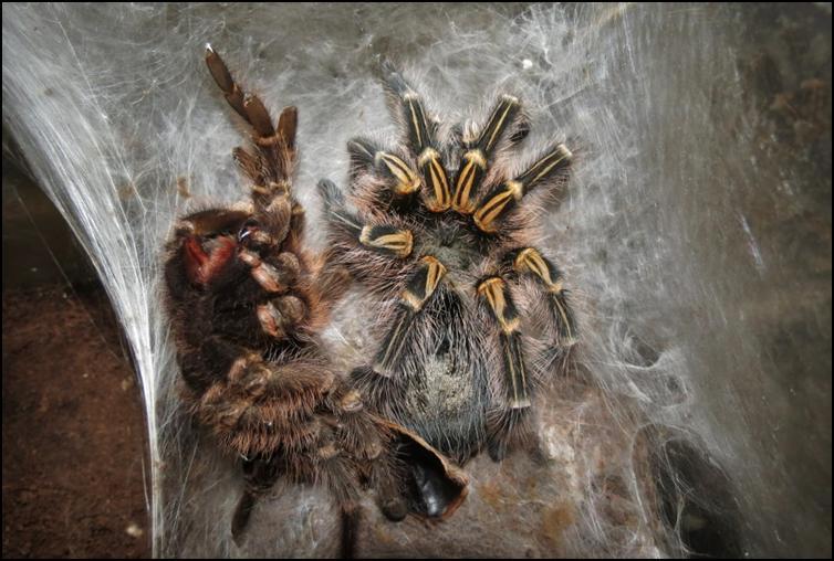 Golden Knee Tarantula with old exoskeleton / exuviae