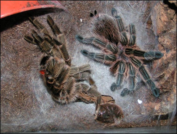 Chile Rose Tarantula with old exoskeleton on bed of silk