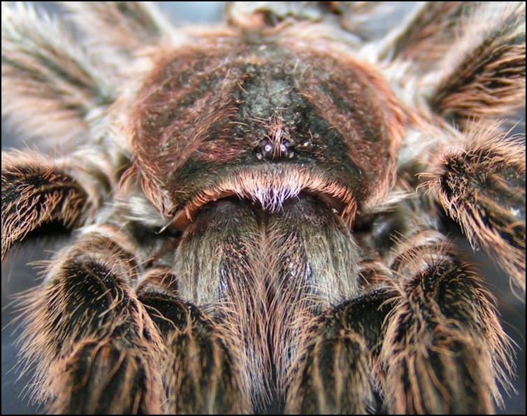 Close up of head of Chile Rose Tarantula exuviae