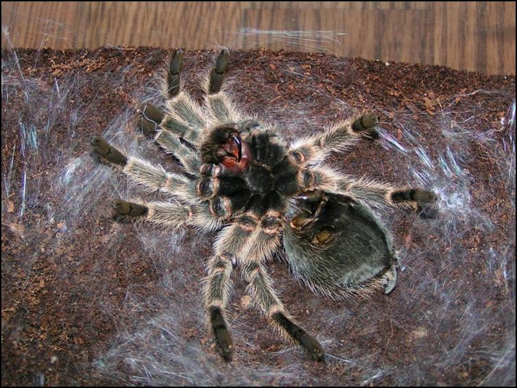 Chile Rose Tarantula lying on it's back on a bed of silk ready to moult