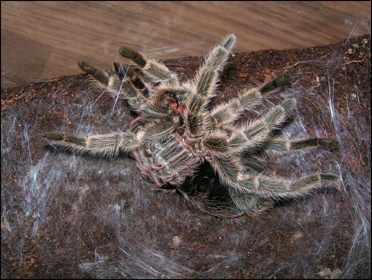 Chile Rose Tarantula moulting