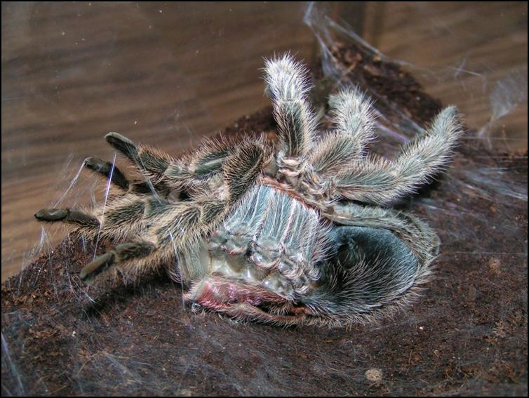 Chile Rose Tarantula pushing the old exoskeleton off over the top of her new one