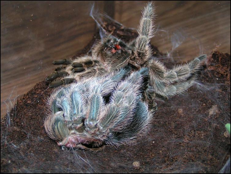 Chile Rose Tarantula legs nearly free from old exoskeleton