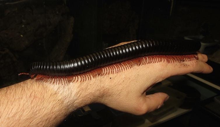 Colossobolus giganteus walking along an arm