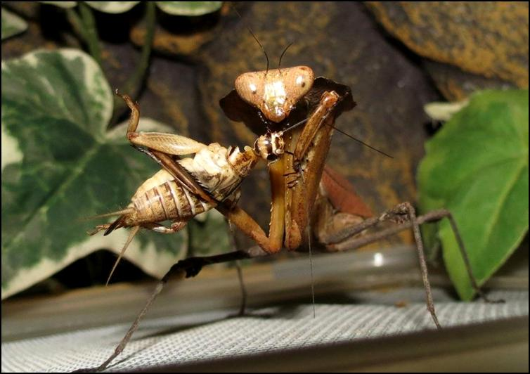 Dead Leaf Praying Mantis nymph with captured cricket