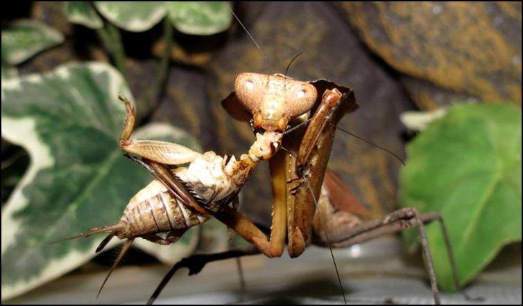 Dead Leaf Praying Mantis nymph eating captured cricket