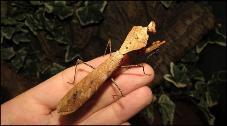 Slender adult Dead Leaf Praying Mantis