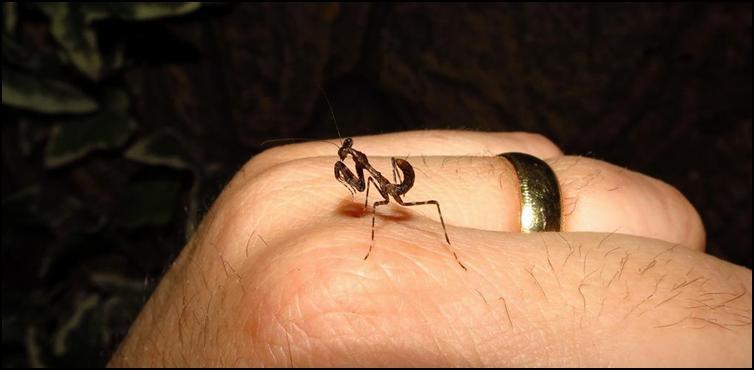 Baby Dead Leaf Praying Mantis