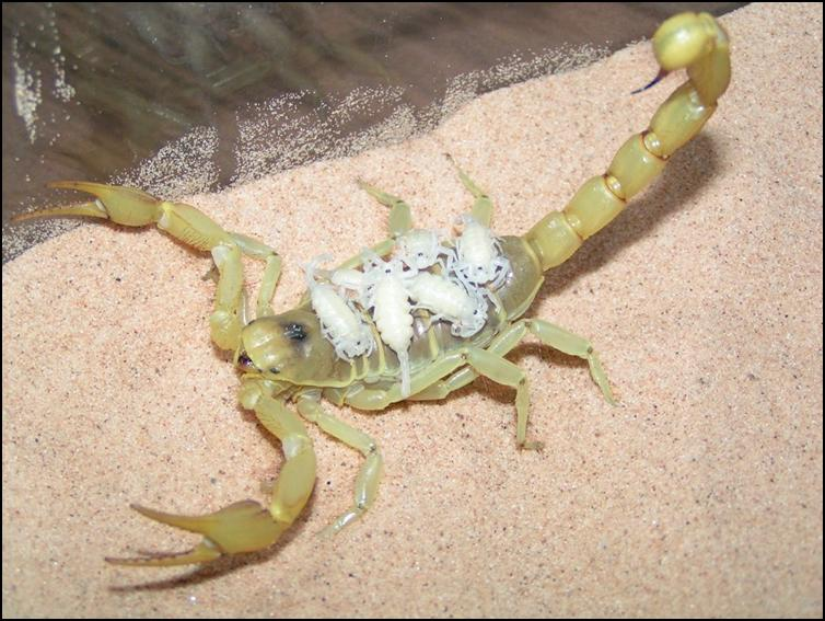 Desert Hairy Scorpion with babies on her back