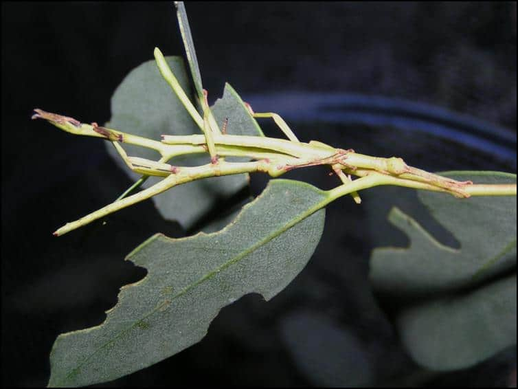 Well hidden Diapherodes gigantea nymphs
