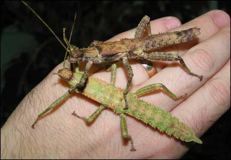 Colouration changes as New Guinea Spiny Stick Insect nymphs age