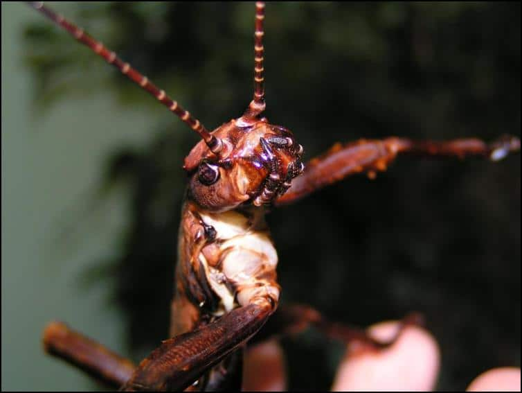 Close-up of the head of a New Guinea Spiny Stick Insect