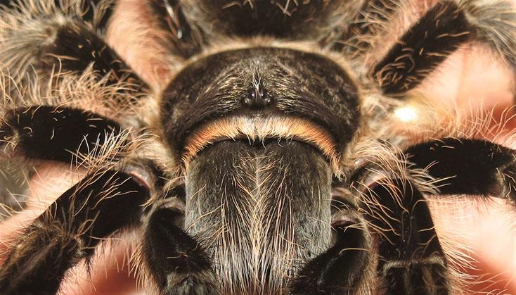 Close-up of Honduran Curly Hair Tarantula