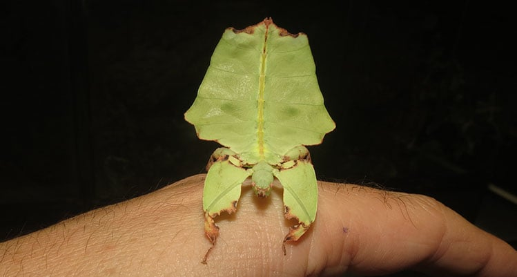 Giant Leaf Insect nymphs