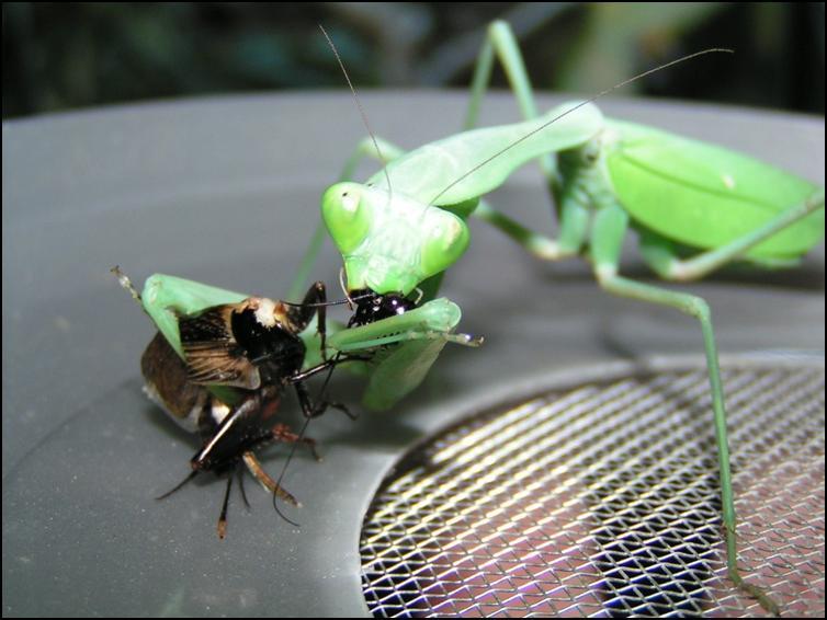 Giant asian praying mantis feeding