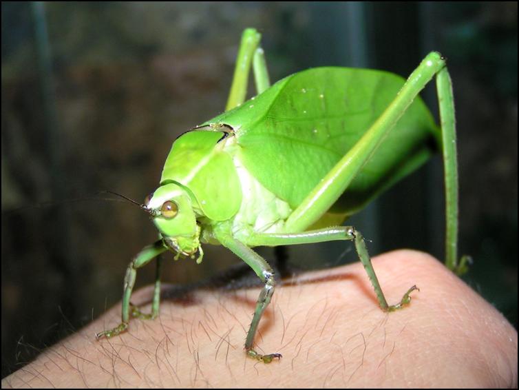 Giant Florida Katydid
