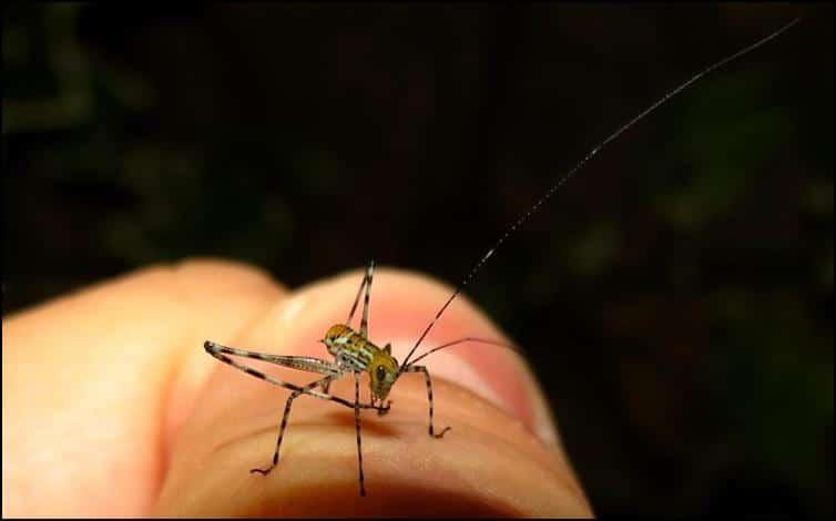 Very long antenna of Giant Florida Katydid