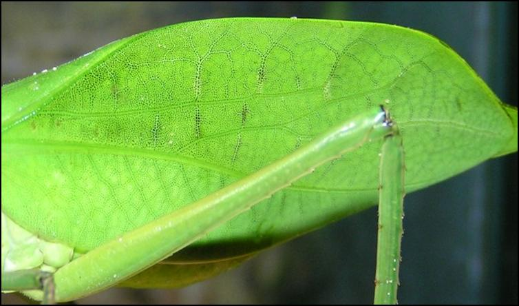 Leaf-like wings of Giant Florida Katydid