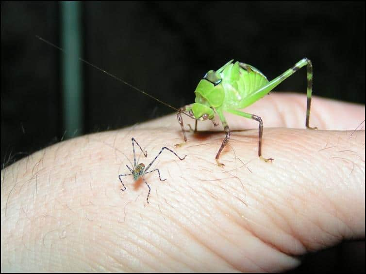 Size difference of fast growing Giant Florida Katydids