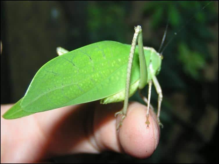 Male adult Giant Florida Katydid