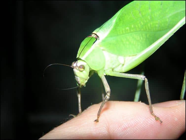 Male Adult Giant Florida Katydid cleaning itself