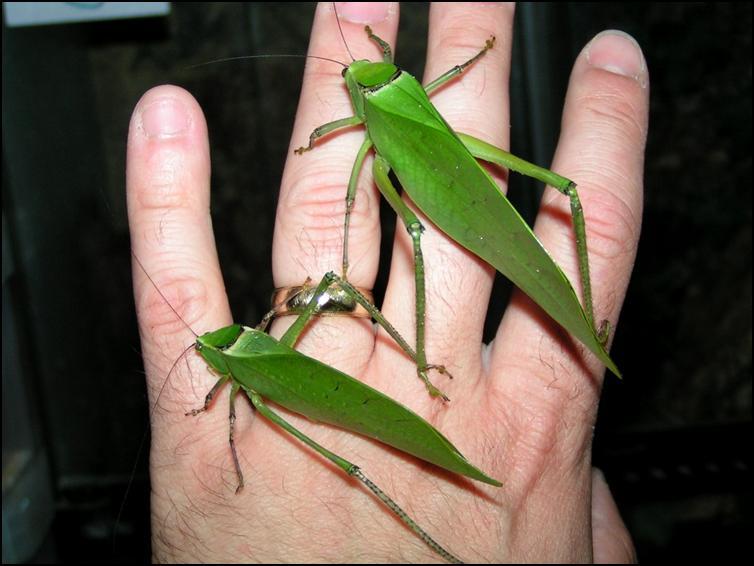 Giant Florida Katydids