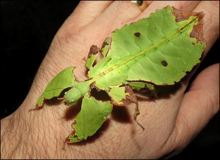 Subadult Leaf Insect