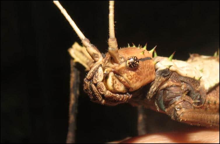 Female Haaniella saussurei