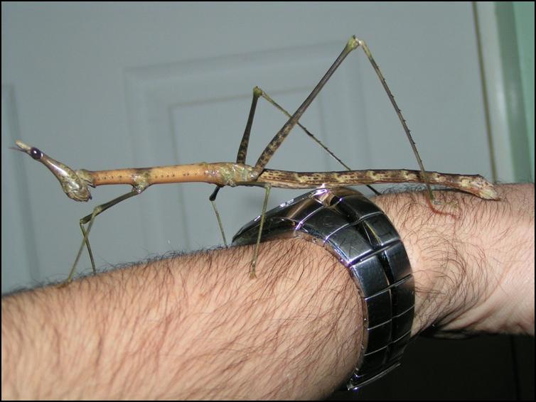 Horsehead Grasshopper walking down Jonathan's arm
