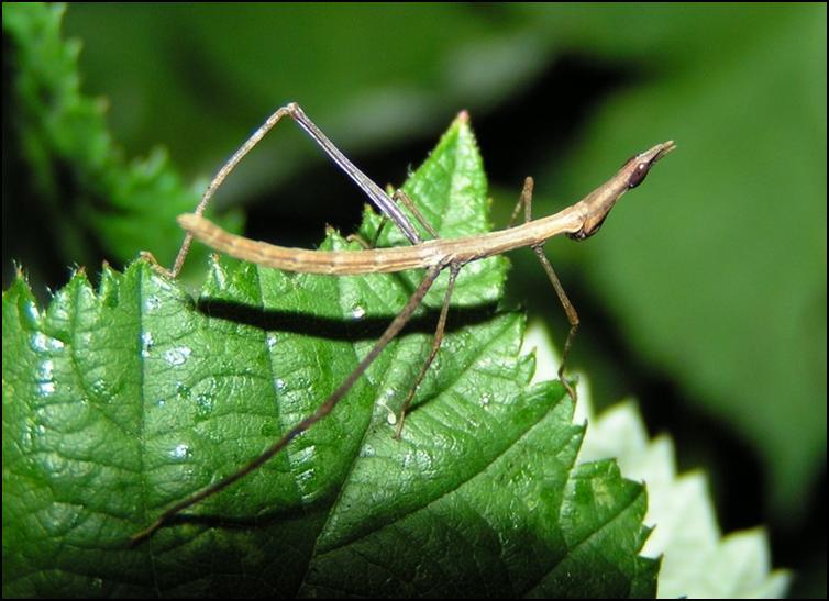 Horsehead Grasshopper nymph