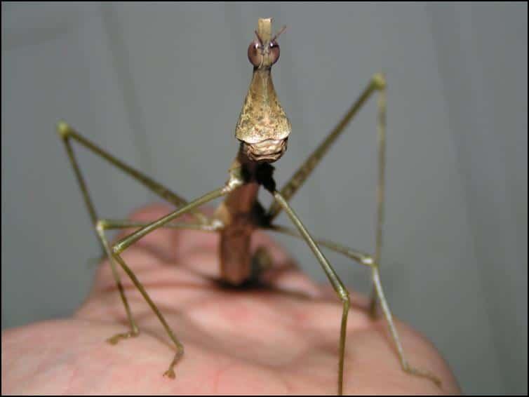 Adult female Horsehead Grasshopper