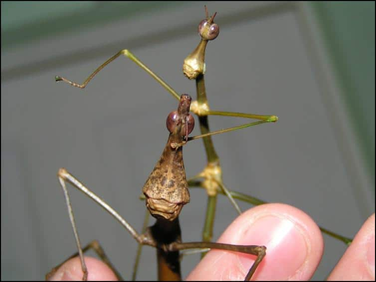 Male and Female Horsehead Grasshoppers