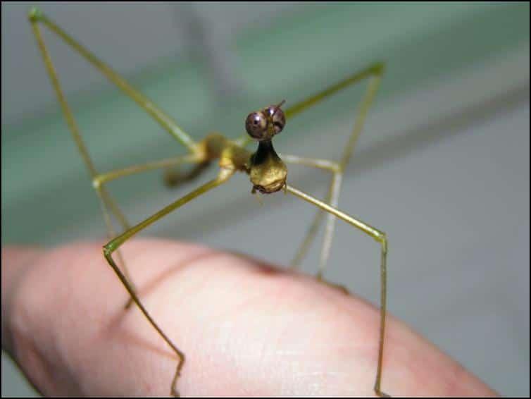 Horsehead Grasshopper