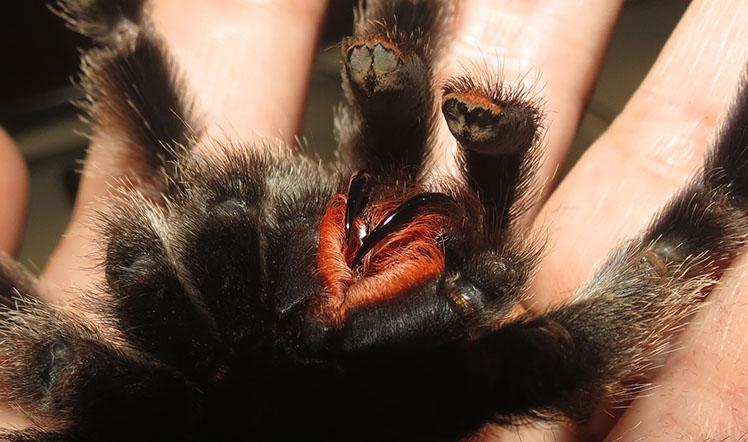Peruvian Pinktoe Tarantula fangs