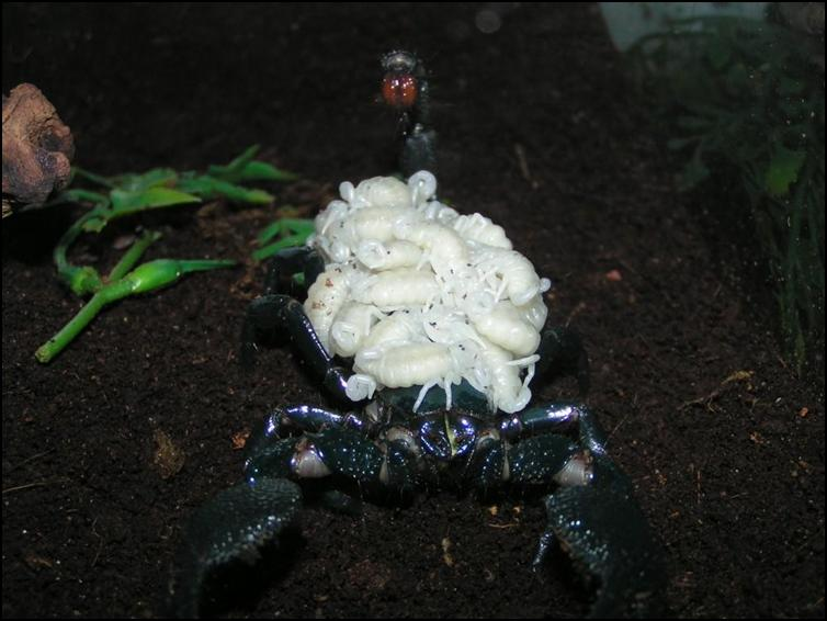Female Imperial Scorpion carrying her babies on her back