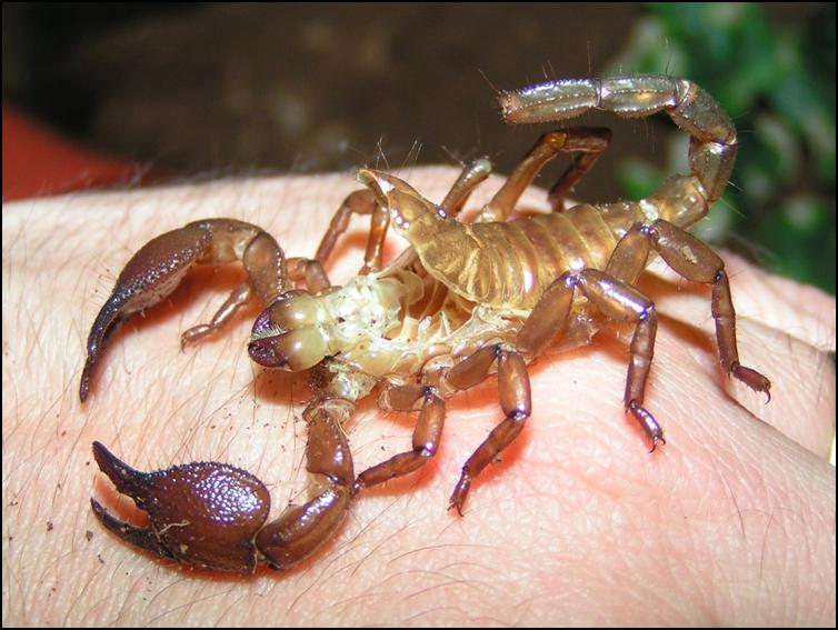 Imperial Scorpion moulted exoskeleton / exuviae with carapace flipped open
