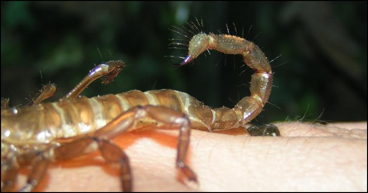 Sensory hairs on the tail of an exoskeleton of an Imperial Scorpion