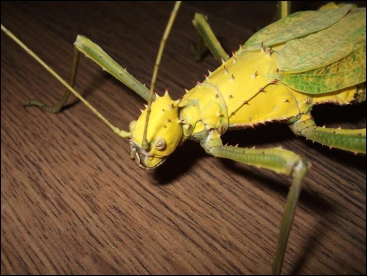 Yellow mature Jungle Nymph