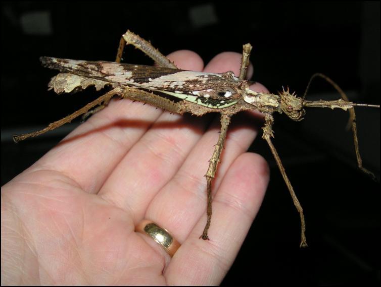 Male Jungle Nymph