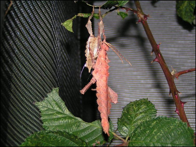 Jungle Nymph drying off after moulting