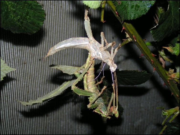 Female Jungle Nymph moulting